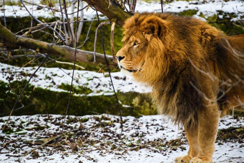 Bello leone vigoroso immagine stock
