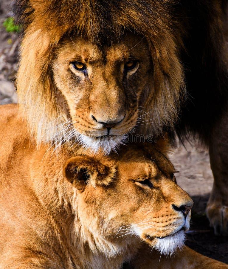 Bello leone vigoroso immagini stock