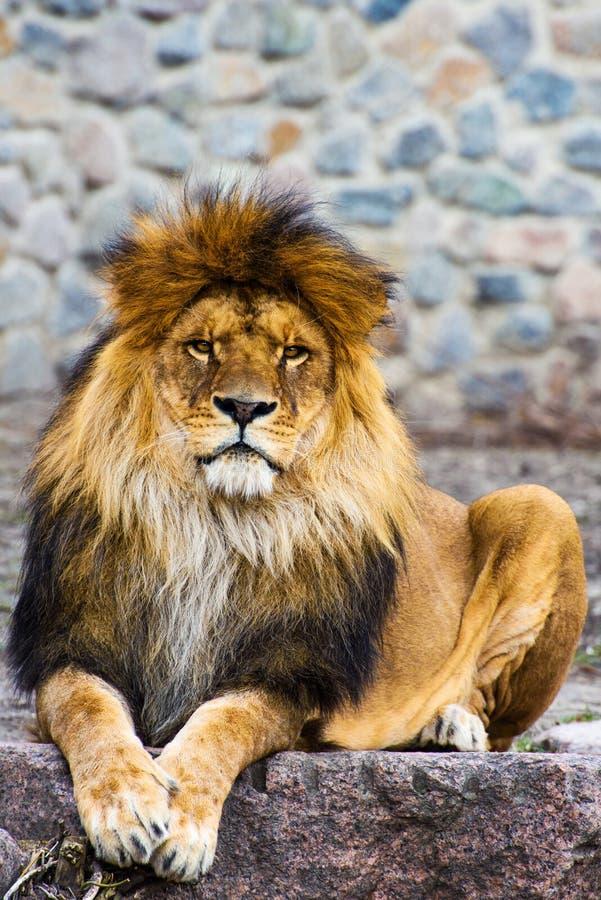 Bello leone vigoroso fotografia stock libera da diritti