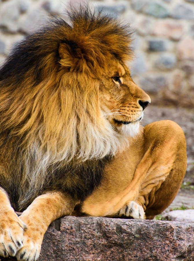 Bello leone vigoroso immagini stock libere da diritti