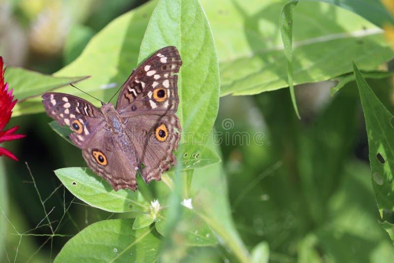 Bello lepidottero sull'immagine di riserva libera della sovranità delle foglie fotografia stock libera da diritti
