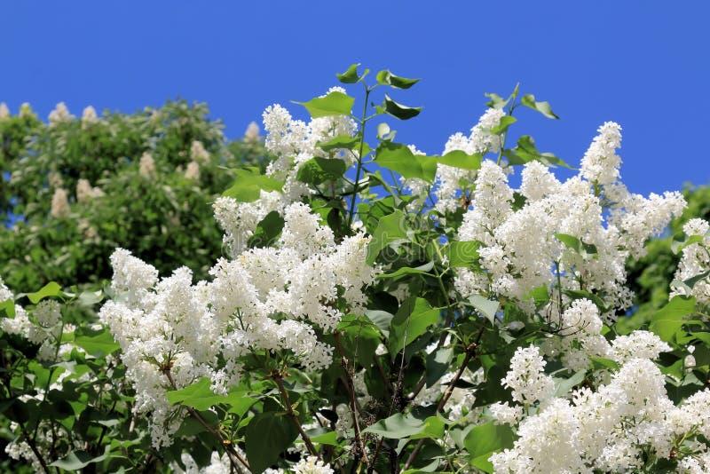 Bello lillà bianco, illuminato dal sole luminoso della molla fotografie stock libere da diritti