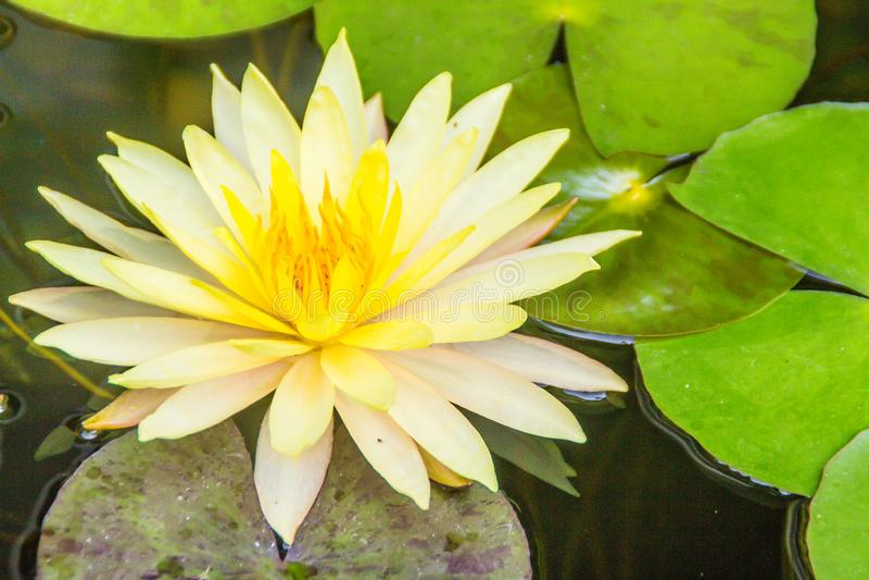 Bello loto giallo con le foglie verdi nello stagno della palude I fiori e le foglie verdi gialli pacifici della ninfea sullo stag immagini stock