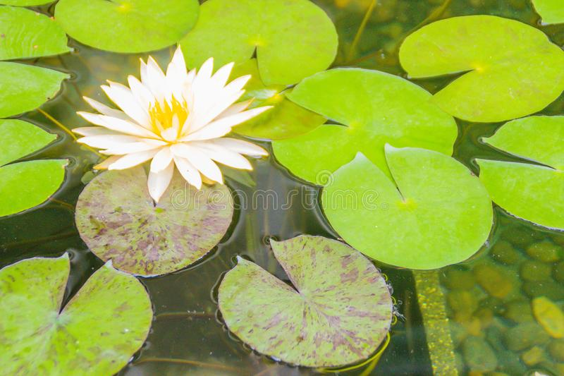 Bello loto giallo con le foglie verdi nello stagno della palude I fiori e le foglie verdi gialli pacifici della ninfea sullo stag fotografie stock