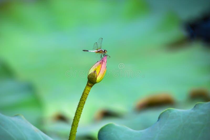 Bello loto nello stagno con la libellula fotografia stock