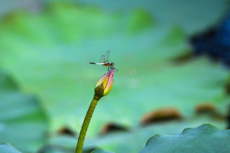 Bello loto nello stagno con la libellula immagine stock libera da diritti