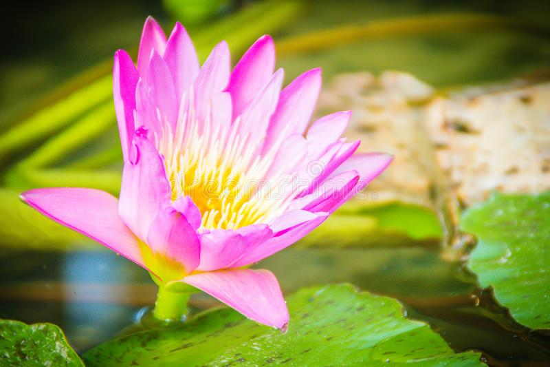 Bello loto rosa con polline giallo nello stagno della palude Fiore rosa della ninfea con lo spazio della copia per testo Fondo de fotografia stock libera da diritti