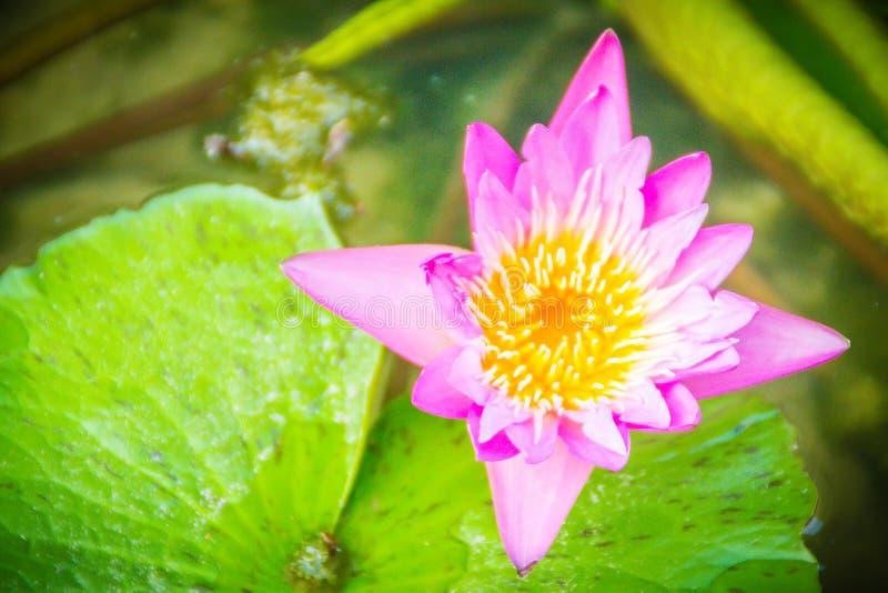 Bello loto rosa con polline giallo nello stagno della palude Fiore rosa della ninfea con lo spazio della copia per testo Fondo de immagini stock