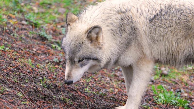 Bello lupo grigio immagini stock libere da diritti