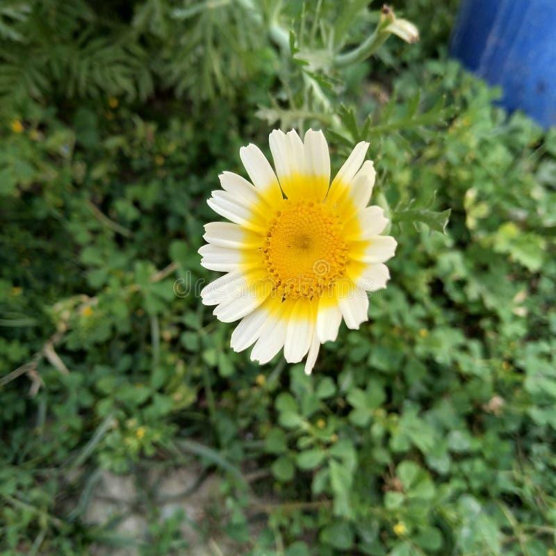BELLO lustro del girasole come un sole immagine stock
