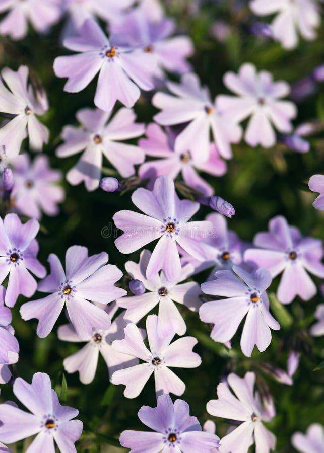 Bello mazzo dei fiori lilla porpora in mani delle ragazze immagine stock