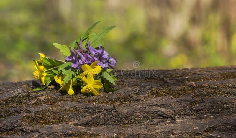 Bello mazzo del ranuncolo giallo dei fiori su una connessione la foresta della molla con una copia di spazio fotografia stock libera da diritti