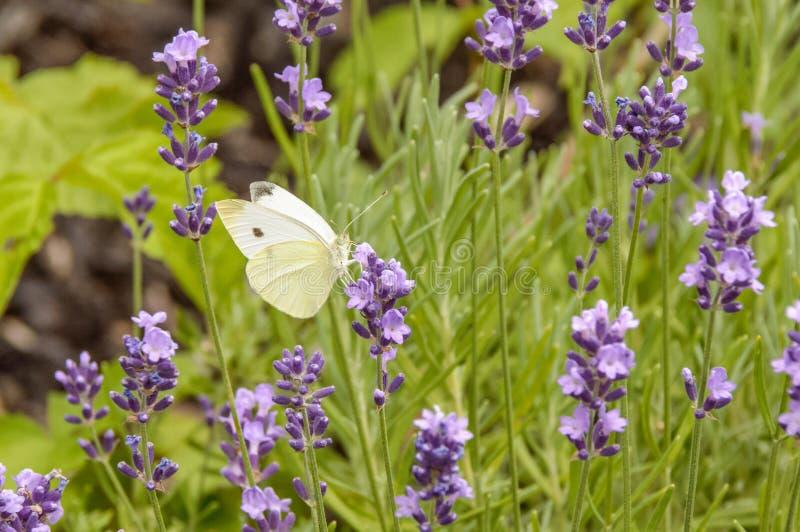 Bello mazzo di fiori porpora con una farfalla bianca su uno di loro fotografia stock libera da diritti