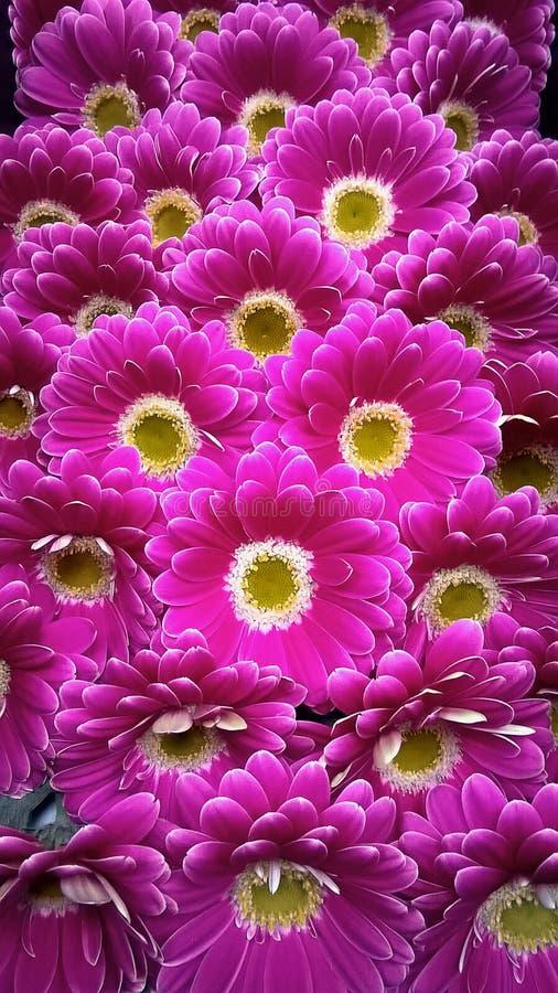 Bello mazzo di gerbere Fondo del fiore della gerbera Fondo floreale del modello senza cuciture della gerbera immagine stock libera da diritti