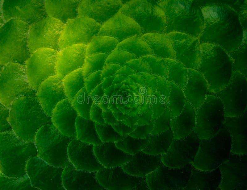 Bello modello in una pianta succulente, cactus di Fibonacci fotografia stock