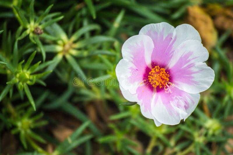 Bello muschio bicolore rosa & x28; Portulaca Bicolor& grandiflora x29; fiorendo nel giorno soleggiato immagine stock libera da diritti