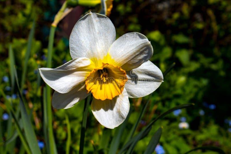 Bello narciso nel mio giardino immagine stock libera da diritti