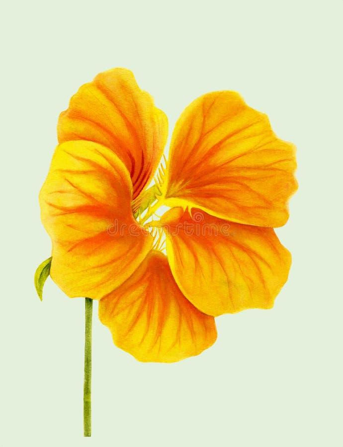 Bello nasturzio isolato su fondo verde chiaro Fiore luminoso giallo ed arancio Arte realistica botanica watercolor royalty illustrazione gratis