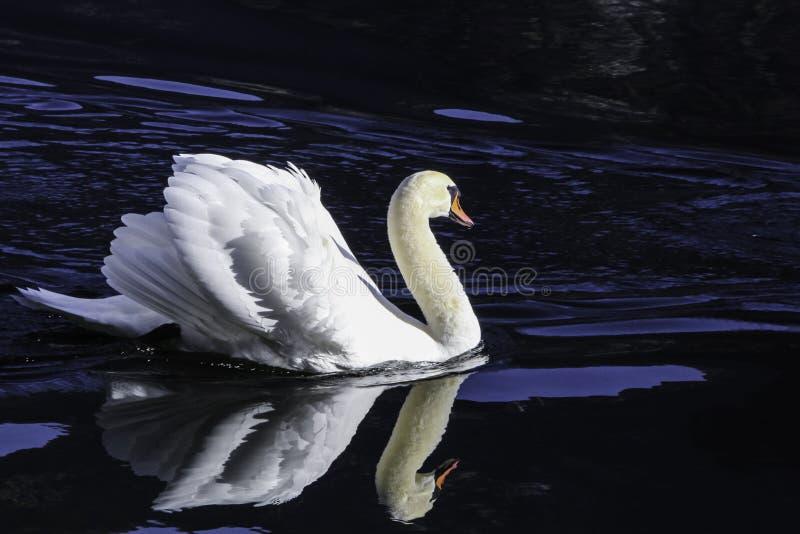 Bello nuoto del cigno in acqua cristallina del lago Hallstatt della montagna fotografia stock libera da diritti