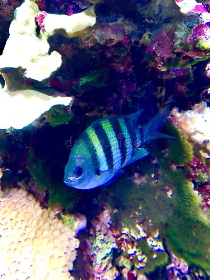Bello nuoto del pesce in acquario fotografie stock