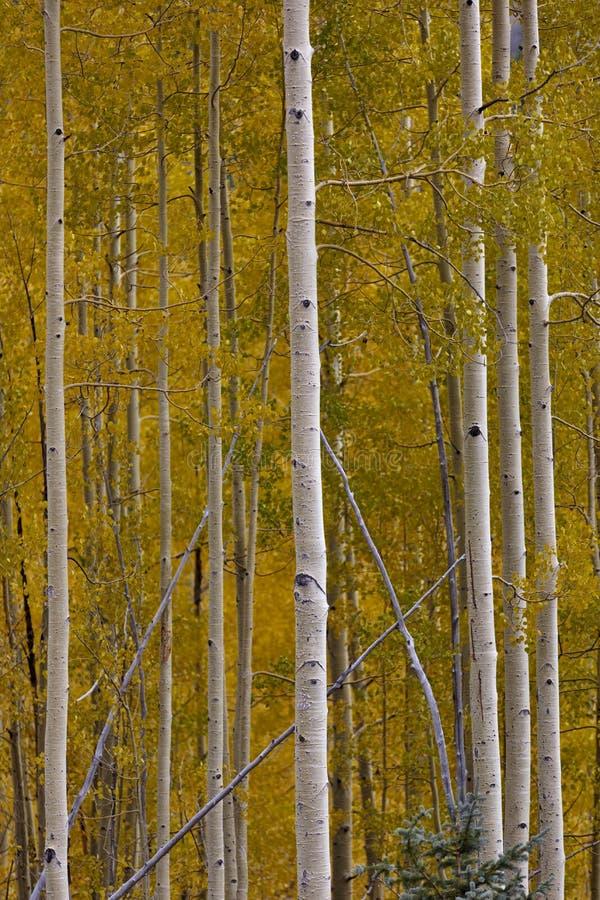 Bello oro degli alberi della tremula di autunno in Colorado fotografie stock libere da diritti