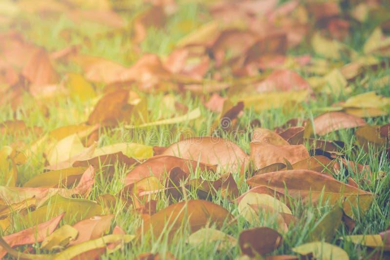 Bello paesaggio in autunno stagionale delle foglie secche cadute sul campo del prato dell'erba verde in parco pubblico immagine stock libera da diritti