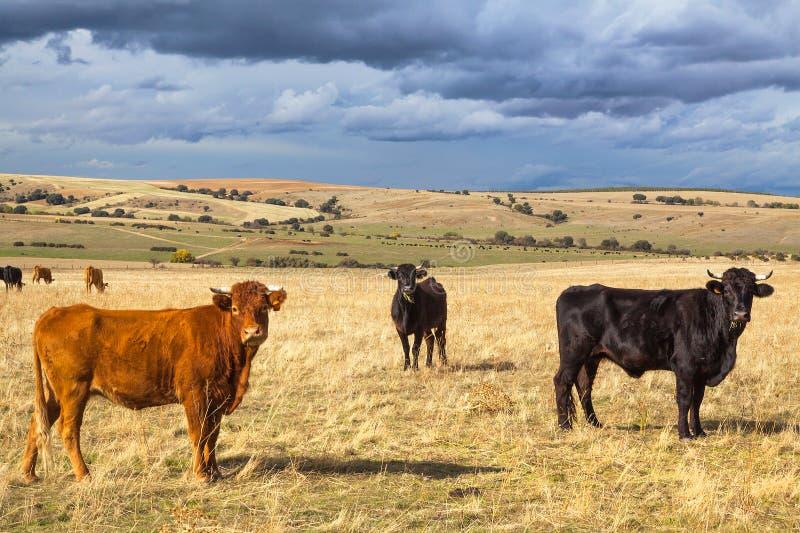 Bello paesaggio con il bestiame e le nuvole scure al tramonto, regione della Castiglia y Leon, Spagna immagini stock