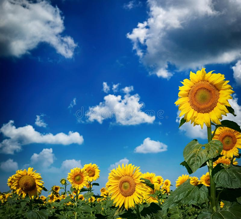 Bello paesaggio con il giacimento del girasole sopra cielo blu nuvoloso immagini stock libere da diritti