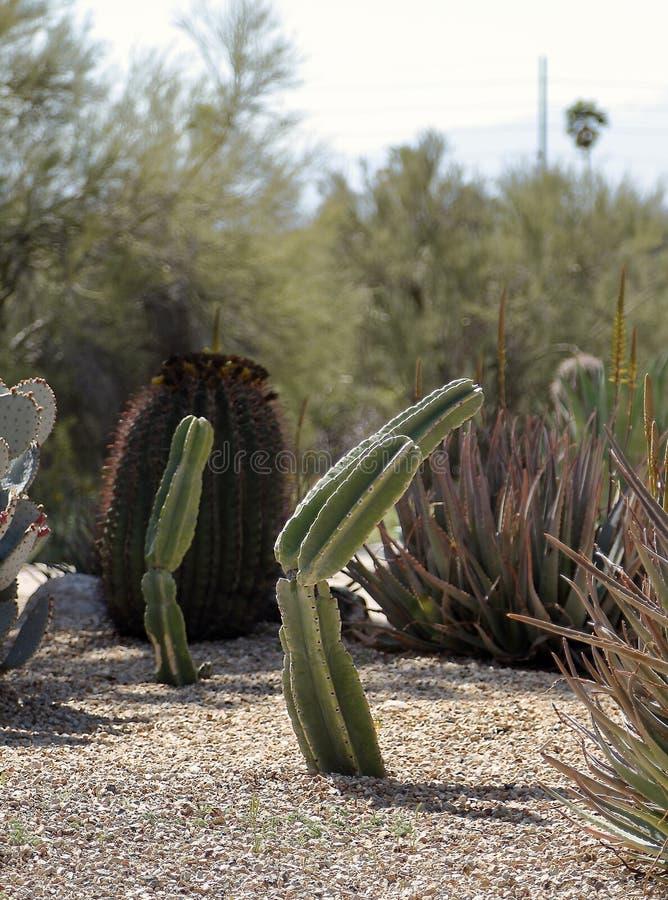 Bello paesaggio con il marginatus messicano di Post Cactus Pachycereus del recinto fotografie stock libere da diritti