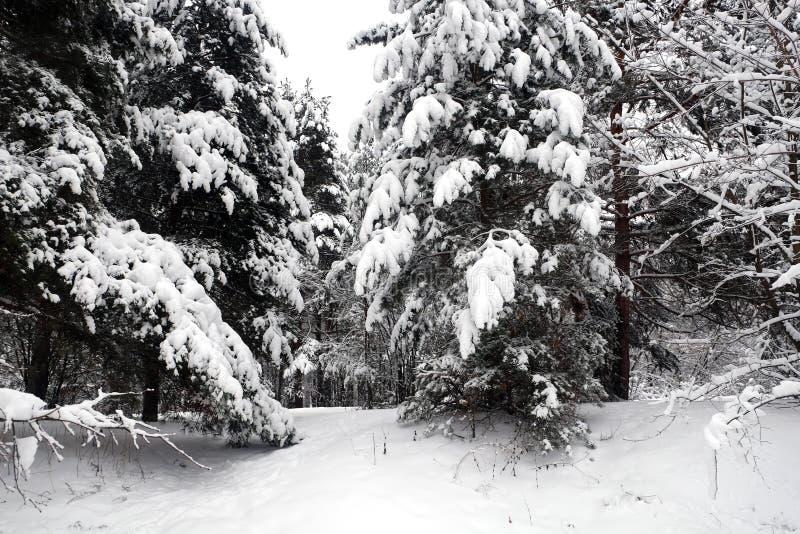 Bello paesaggio con il percorso innevato nella foresta densa della foresta fra gli alberi il giorno di inverno immagini stock libere da diritti