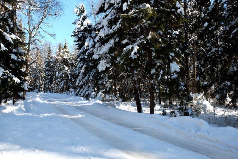 Bello paesaggio con la strada suburbana in alti alberi innevati nella foresta di inverno dopo le precipitazioni nevose il giorno  fotografia stock libera da diritti