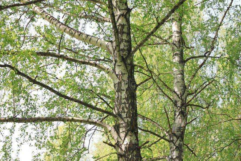 Bello paesaggio con le giovani betulle verdi succose con le foglie verdi e con i tronchi in bianco e nero della betulla al sole immagine stock libera da diritti