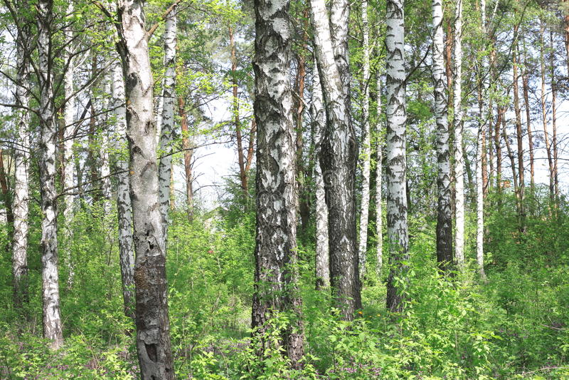 Bello paesaggio con le giovani betulle verdi succose con le foglie verdi e con i tronchi in bianco e nero della betulla al sole fotografie stock libere da diritti