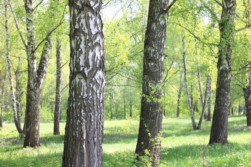 Bello paesaggio con le giovani betulle verdi succose con le foglie verdi e con i tronchi in bianco e nero della betulla al sole fotografia stock