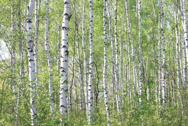 Bello paesaggio con le giovani betulle verdi succose con le foglie verdi e con i tronchi in bianco e nero della betulla al sole immagini stock