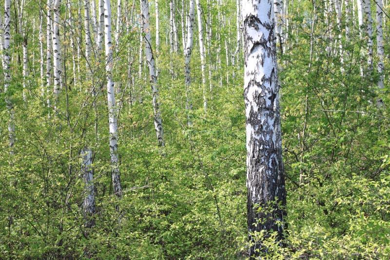 Bello paesaggio con le giovani betulle verdi succose con le foglie verdi e con i tronchi in bianco e nero della betulla al sole immagini stock libere da diritti