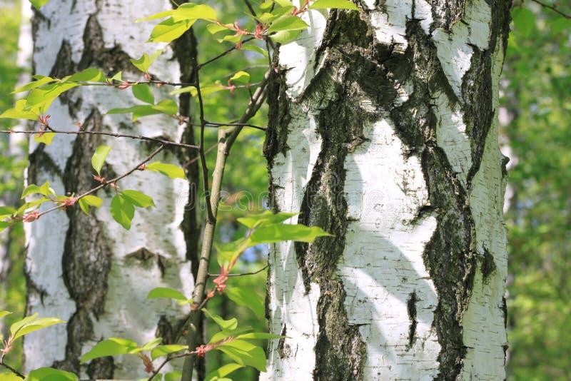 Bello paesaggio con le giovani betulle verdi succose con le foglie verdi e con i tronchi in bianco e nero della betulla al sole fotografia stock libera da diritti