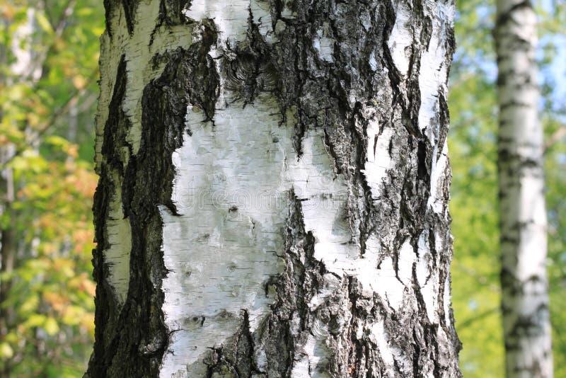 Bello paesaggio con le giovani betulle verdi succose con le foglie verdi e con i tronchi in bianco e nero della betulla al sole fotografie stock