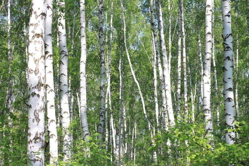 Bello paesaggio con le giovani betulle verdi succose con le foglie verdi e con i tronchi in bianco e nero della betulla al sole immagine stock