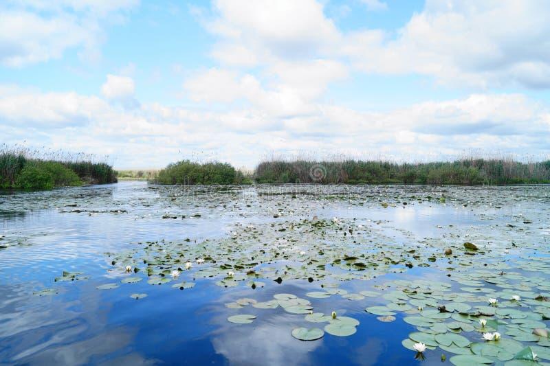 Bello paesaggio con le ninfee del delta di Danubio, delta Dunarii della Romania fotografia stock