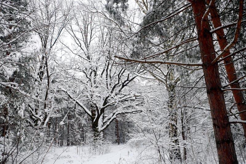 Bello paesaggio con le querce ed il percorso innevato nella foresta di inverno al giorno di inverno nuvoloso immagini stock