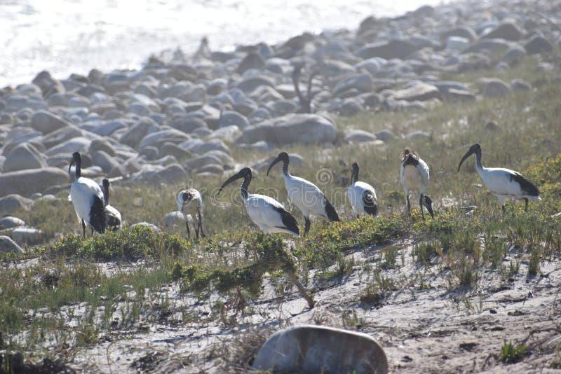 Bello paesaggio con molti aironi bianchi sulla spiaggia vicino a capo di buona zappa a Città del Capo, Sudafrica immagine stock