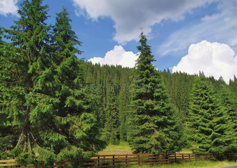 bello paesaggio con una foresta dell'abete fotografie stock libere da diritti