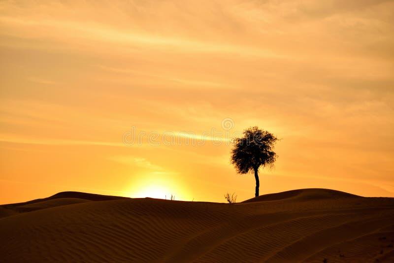 Bello paesaggio dell'albero nel deserto del Dubai fotografia stock libera da diritti