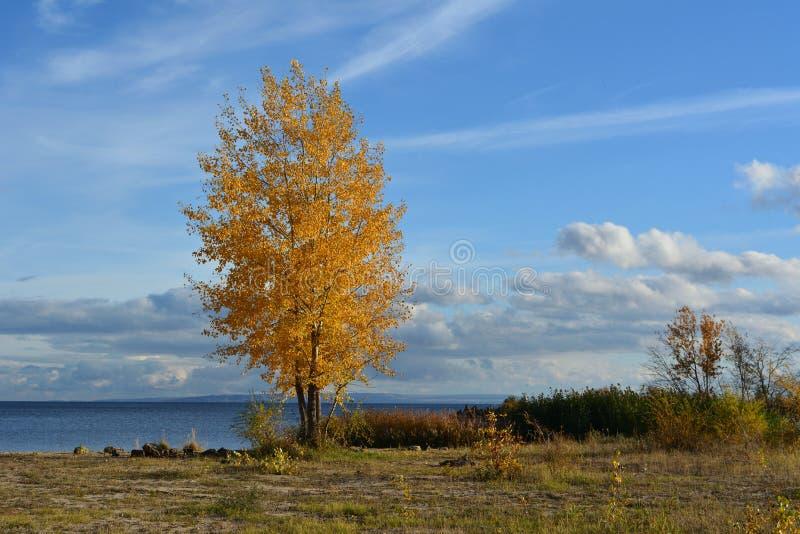 Bello paesaggio di autunno con l'albero dorato solo sulla costa del fiume fotografia stock