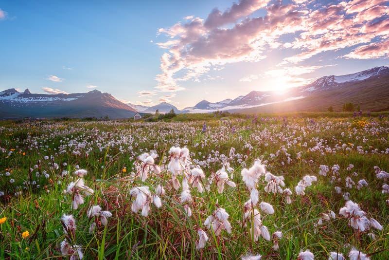 Bello paesaggio di estate, tramonto sopra le montagne e valle di fioritura, campagna dell'Islanda fotografie stock libere da diritti