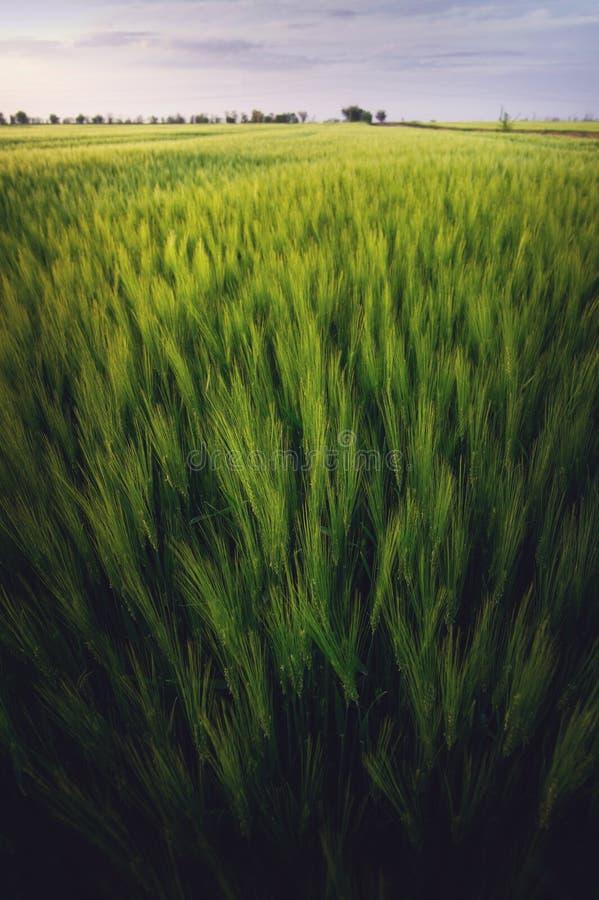 Bello paesaggio di sera sopra un giacimento di grano fertile verde nello stile piega fotografia stock libera da diritti