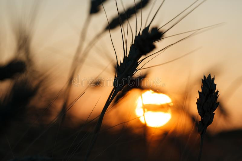 Bello paesaggio di tramonto di agricoltura Orecchie della fine dorata del grano su Scena rurale nell'ambito di luce solare Fondo  immagini stock libere da diritti