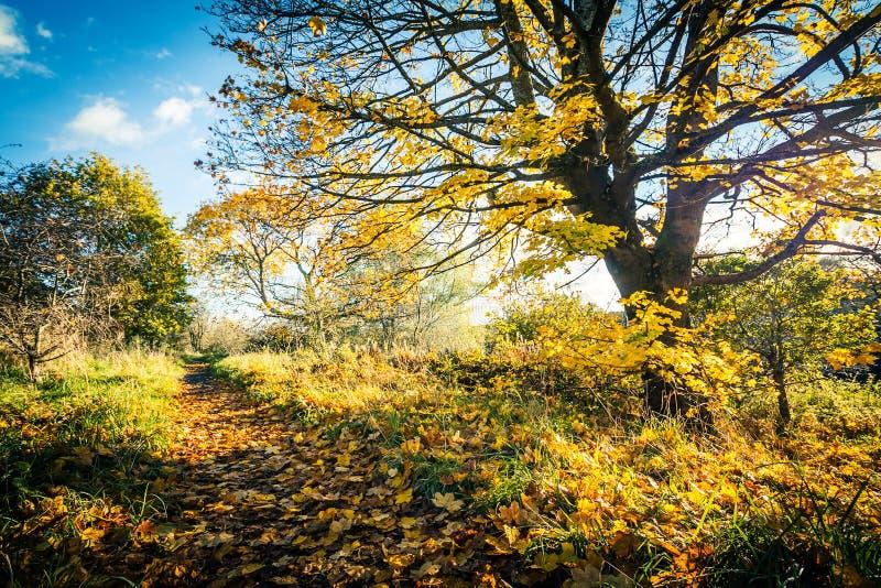 Bello, paesaggio dorato di autunno con gli alberi e foglie dorate nel sole in Scozia fotografie stock