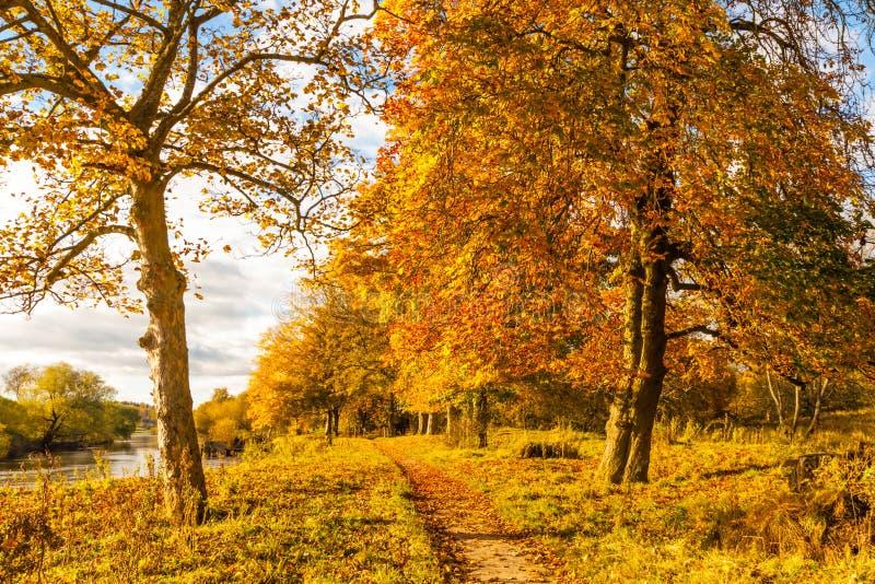 Bello, paesaggio dorato di autunno con gli alberi e foglie dorate nel sole in Scozia fotografia stock